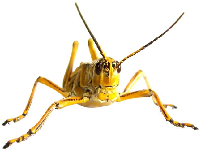 yellow-grasshopper