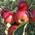 jabuka-sumatovka