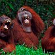 Orangutani-smeh