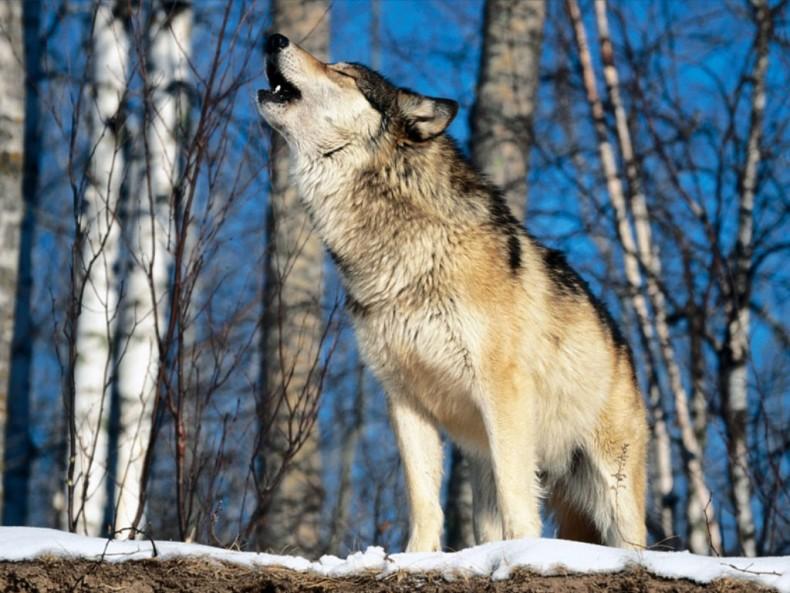 vuk-zavija