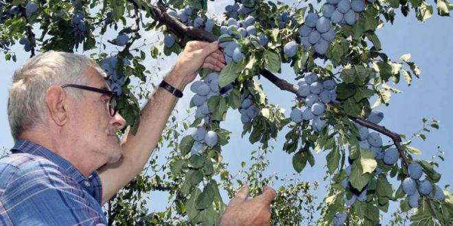 Пољопривреда: Профит гаси домаће сорте 1
