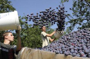 У Институту за воћарство у Чачку створена нова сорта шљиве