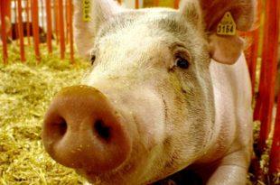 Паника због вакцина против свињског грипа 8