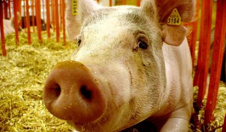 Паника због вакцина против свињског грипа 1