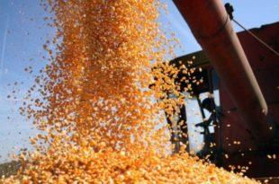 """Извоз кукуруза уноснији од """"фиће"""""""