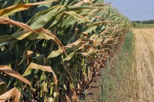 Кукуруза 40 одсто мање