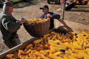 Кукуруз рекордних 27 динара