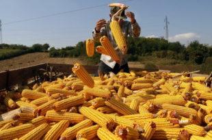 Кукуруз пада на берзи