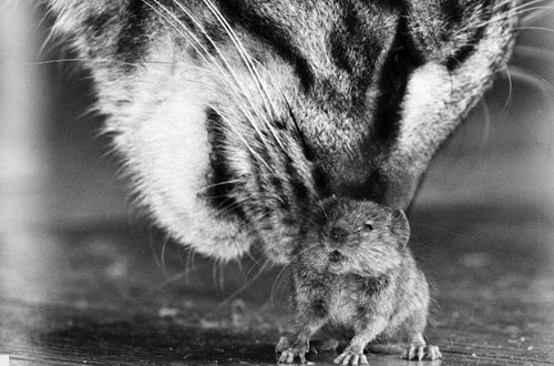 ММФ у игри мачке и миша