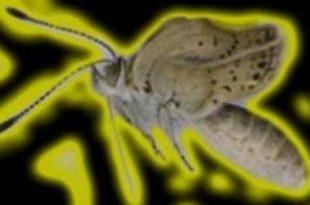 Јапански лептири мутирали због Фукушиме