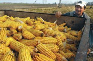 Мањи род кукуруза за 45 одсто