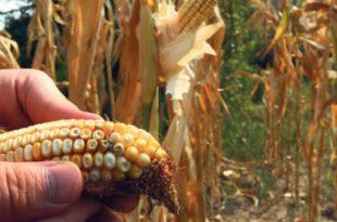 """""""Надлежни знали да је кукуруз заражен"""""""