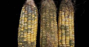 Шта са затрованим кукурузом? 4