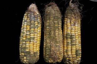 Шта са затрованим кукурузом?