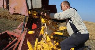 Кукуруза довољно само за домаће потребе (видео)