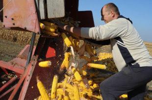 Кукуруза довољно само за домаће потребе (видео) 5