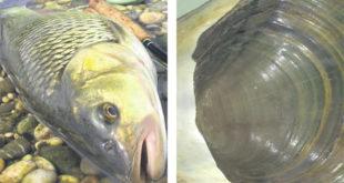 Мутиране рибе у обреновачким водама 7