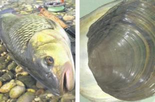 Мутиране рибе у обреновачким водама