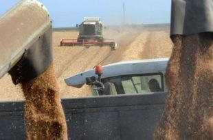 Жетва пшенице се захуктава: Kвалитет зрна добар, откупна цена ниска