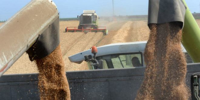 Жетва пшенице се захуктава: Kвалитет зрна добар, откупна цена ниска 1
