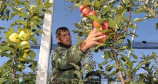 ВОЋАРИ ОЧАЈНИ: Килограм јабука само три динара 4