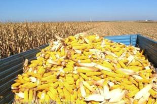 Извоз кукуруза опао за 90 одсто (видео)