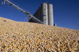 Заражена скоро трећина кукуруза из Робних резерви