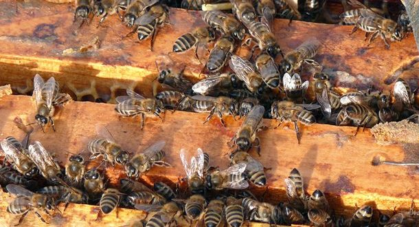 Српски пчелари извезли 3.000 тона меда 1