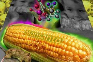 ГМО кукуруз је отрован и бескористан!