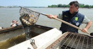 Порибљавање Дунава: Још три тоне млађи шарана