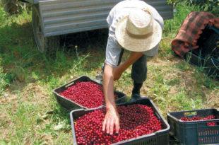 Црвенка: Истину о отрованим берачима вишања траже у гробу