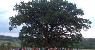 Засадиће Веља и старији храст од 600 година. И лепши! 8