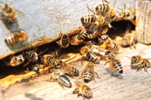 ЕУ забранила још један пестицид који убија пчеле