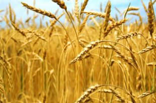 Мађари нам преотели тржиште пшенице захваљујући нашој аљкавости и малом улагању у аграр