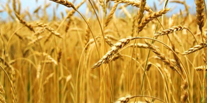 Појачана контрола пшенице и брашна због микротоксина
