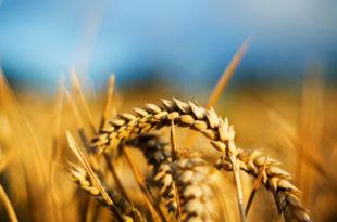 Сецикесе: Откуп пшенице за резерве од 20 динара по килограму
