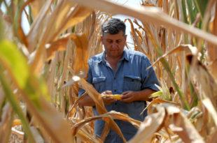 Род кукуруза мањи за 20 одсто