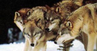Ловци видели вукове у подсувоборским селима 4