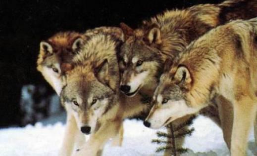 Ловци видели вукове у подсувоборским селима 1