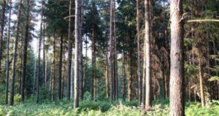 Зашто се суше четинари у Поморавском округу? 11