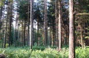 Зашто се суше четинари у Поморавском округу? 9