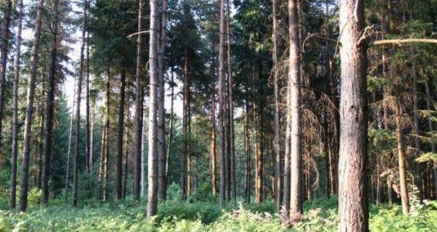 Зашто се суше четинари у Поморавском округу?