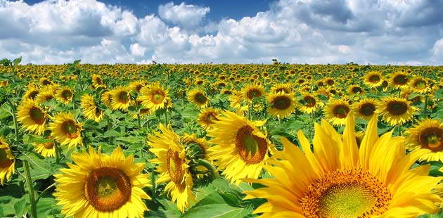 Паори и уљаре без договора о цени сунцокрета, боjкот наредне сетве