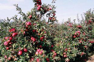 Прошле године натпросечан род воћа