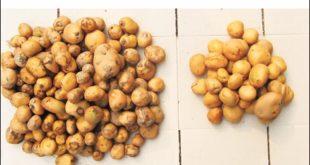 Чачак: Увезли семе кромпира од Енглеза и пропао им читав род 4