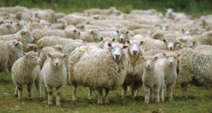 МУКЕ СТОЧАРА: Јагњад и овце за багателу