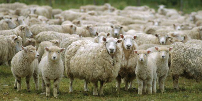 МУКЕ СТОЧАРА: Јагњад и овце за багателу 1