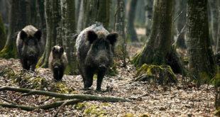 Лов на дивље свиње у Идвору (видео) 12
