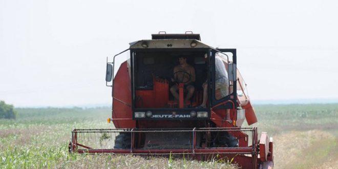 Киша обрала пшеницу и вишње 1