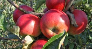 Рекордан род јабука
